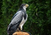picture of tame  - Tamed eagle - JPG