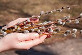 stock photo of willow  - Willow branches in female hands on a gray background - JPG