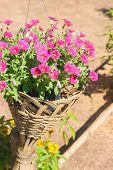 stock photo of petunia  - Blossom petunia flower in bamboo weave pot - JPG