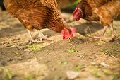 picture of hen house  - Hen in a farmyard  - JPG