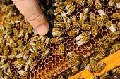 foto of working animal  - Busy bees close up view of the working bees on honeycomb - JPG