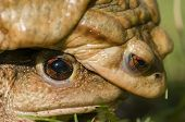 stock photo of mating  - Mating of toads Bufo on green grass - JPG