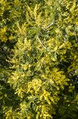 foto of mimosa  - Yellow flowers and green leaves of silver wattle blue wattle mimosa - JPG