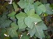 foto of english ivy  - Green leaves of English or common ivy  - JPG
