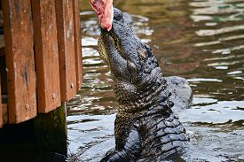 pic of alligator  - Alligator feeding in alligator theme park - JPG