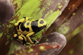 picture of jungle animal  - Yellow banded poison dart frog amazon rain forest of Guyana and Venezuela - JPG
