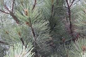stock photo of pine-needle  - Big Green Pine Tree Needles Close Up - JPG