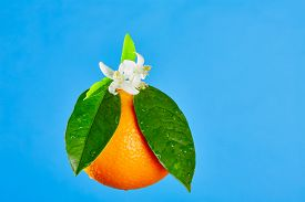 image of mandarin orange  - Oranges with orange blossom flowers in spring on blue background - JPG