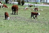 Hereford Calves