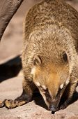 pic of coatimundi  - photo of a captive Coati of the South American jungle - JPG