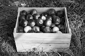 Apples Red Ripe Fruits In Wooden Box On Grass. Apple Harvest Concept. Ripe Organic Fruits In Garden. poster