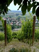 pic of tokay wine  - Two rows of vines in a vineyard overlooking the city of Tokay in Hungary - JPG
