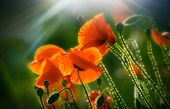 Poppies. Little Poppies In Spring Day With Sunrays poster