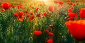 Background Of Red Poppies At Sunrise.close Up Photo Of Field Flowers In High Summer At Sunrise. poster