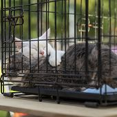 Sleeping Homeless White And Grey Adult Cats Cats From Shelter For Animals In A Cage, Expecting Them  poster