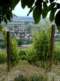 stock photo of tokay wine  - Two rows of vines in a vineyard overlooking the city of Tokay in Hungary - JPG