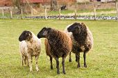 pic of feedlot  - three sheep on a willow on a farm - JPG