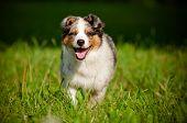 foto of australian shepherd  - australian shepherd dog puppy runnings outdoors summer - JPG
