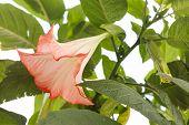 picture of datura  - datura flower - JPG