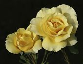 picture of yellow rose  - Two delicate yellow roses glow softly in filtered sun - JPG