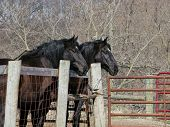image of hayride  - A matched pair of old work horses frequently used to take people on hayrides stand together by the barnyard fence - JPG