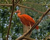 foto of scarlet ibis  - a large adult scarlet ibis perched in a tree - JPG