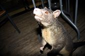 picture of possum  - Common Australian Brushtail Possum  - JPG