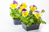 Pansy transplants grown in greenhouse packs.