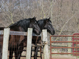 stock photo of hayride  - A matched pair of old work horses frequently used to take people on hayrides stand together by the barnyard fence - JPG