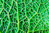 Green Kale Leaf