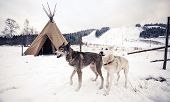 stock photo of wigwams  - Husky dogs near wigwam in winter forest - JPG