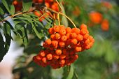 image of rowan berry  - Rowan berries Mountain ash  - JPG