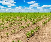 image of soybean sprouts  - Rows of growing soybean crops under a beautiful blue sky - JPG