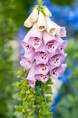 pic of digitalis  - Red foxglove latin name Digitalis purpurea - JPG