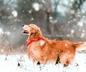 foto of freezing temperatures  - friendly active retriever walk at the snow - JPG