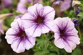 stock photo of glory  - Morning Glory flowers - JPG
