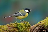 stock photo of tit  - Photo of great tit standing on a moss covered stump - JPG