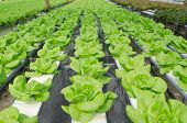 picture of butter-lettuce  - the Butter head vegetable in hydroponic farm - JPG