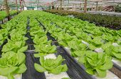 stock photo of butter-lettuce  - the Butter head vegetable in hydroponic farm