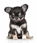picture of chiwawa  - Funny Chihuahua puppy sits in front of white background - JPG