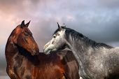 picture of breed horse  - Beautiful black and grey colour horse couple in love - JPG