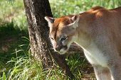 stock photo of wildcat  - Wildcat or pumaPuma concolor in shady natural habitat - JPG