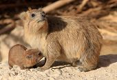 picture of breastfeeding  - A wild rock hyrax is breastfeeding its small child - JPG