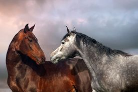 image of fillies  - Beautiful black and grey colour horse couple in love - JPG