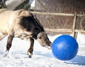 picture of wild horse running  - wild grulla horse in winter playing the ball