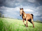 stock photo of running horse  - golden Don horse stallion runs gallop in summer with storm sky - JPG