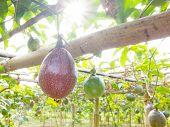 stock photo of passion fruit  - Passion fruit - JPG