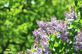 stock photo of lilac bush  - purple lilac bush blooming in May day - JPG
