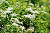 foto of meadowsweet  - view of bushes blooming white spiraea in garden - JPG