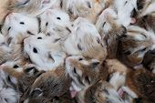 pic of hamster  - group of sleeping small cute hamsters background  - JPG
